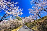 Road through the cherry tree — Stock Photo