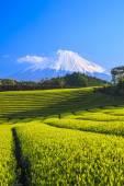 Tea plantation and Mt. Fuji — Стоковое фото