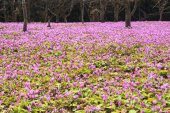 Dogtooth Violet Colony — Stock Photo