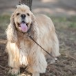American Cocker Spaniel on a walk in the autumn park — Stock Photo #60808433