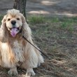 American Cocker Spaniel on a walk in the autumn park — Stock Photo #60808465