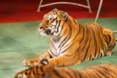 Obedient tiger — Foto Stock