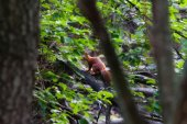 Red squirrel in summer forest — Stock Photo