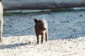 Kleine schwarze schwein — Stockfoto