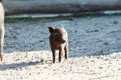 Small black pig — Stock Photo