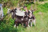 Herd of goats grazing on a green lawn — Stock Photo