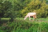 Cow in the rural landscape — Stock Photo