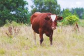 Red cow on pasture — Stock Photo