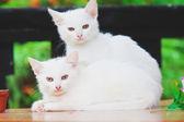 Two white kitten — Stock Photo