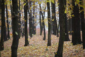 Row of trees in the autumn forest — Stock Photo