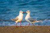 Two seagulls in love — Stock Photo