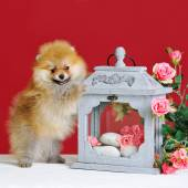 Cute spitz dog puppy — Stock Photo
