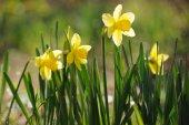 Wiosną czas żonkile w pełnym rozkwicie w ogrodzie — Zdjęcie stockowe