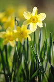 Spring time daffodils in full bloom in the garden — Stock Photo