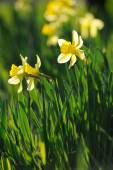 Beautiful yellow narcissus in spring garden — Stock Photo