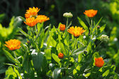 Beautiful herbal calendula field in spring time with sun rays — Stock Photo