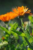 Herbal calendula in the garden — Stock Photo