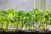 Tomatoes seedlings growing in a container on the window — Stock Photo