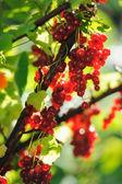 Rote Johannisbeere Beeren im Sommersonne Strahlen — Stockfoto