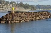 Sea Lions on rocks in Newport Oregon. — Stock Photo