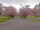 Frühling blüht Rosa Zeile Bäume in einem park. — Stockfoto