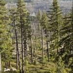 Landscape of a burned forest central Oregon. — Stock Photo #72177179
