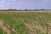 Iris field in Keizer Oregon. — Stock Photo