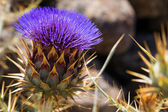 Artichoke Flower (Cynara cardunculus) — Stock Photo