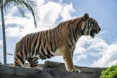 Huge tiger standing on a rock — Stock Photo