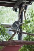 Koala playing in its enclosure — Stock Photo