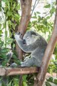 Sleepy koala resting in a tree — Stock Photo