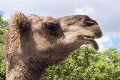 Pictureof a camel's head — Stock Photo