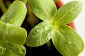 Green sunflower growing sprouts — Stock Photo