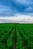 Corn field dirt road with clouds — Stock Photo
