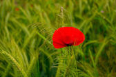 Red poppy flowers in the oil seed wheat fields — Stock Photo