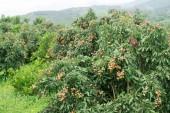 Fresh longan on tree — Zdjęcie stockowe