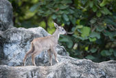 Young goral standing on the rock — Stock Photo