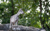Goral standing on the rock — Stock Photo
