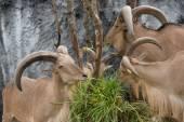 Barbary sheep eating green grass — Stock Photo