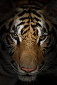 Twarz tygrys — Zdjęcie stockowe