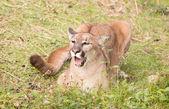 Puma — Stock Photo
