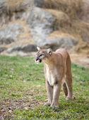 Puma — Stockfoto