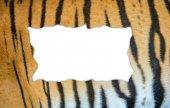 Tiger fur on white background — Stockfoto