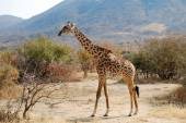 One day of safari in Ruaha National Park - Giraffe — Foto Stock
