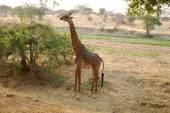 One day of safari in Tanzania - Africa - Giraffe — Foto Stock