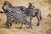 One day of safari in Tanzania - Africa - Zebras — Stock Photo