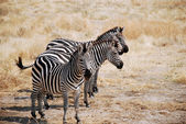 One day of safari in Tanzania - Africa - Zebras — Foto Stock