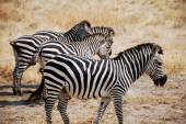 One day of safari in Tanzania - Africa - Zebras — 图库照片