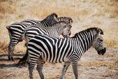 One day of safari in Tanzania - Africa - Zebras — Foto de Stock
