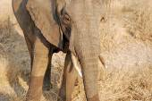 One day of safari in Tanzania - Africa - Elephants — Foto Stock